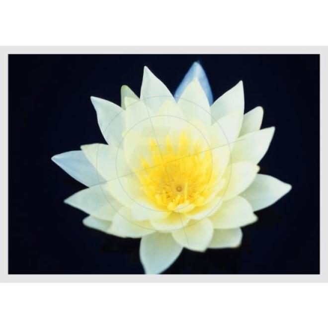 Lotus Flower Schaufensteraufkleber Und Fensterfolien Online Bestellen